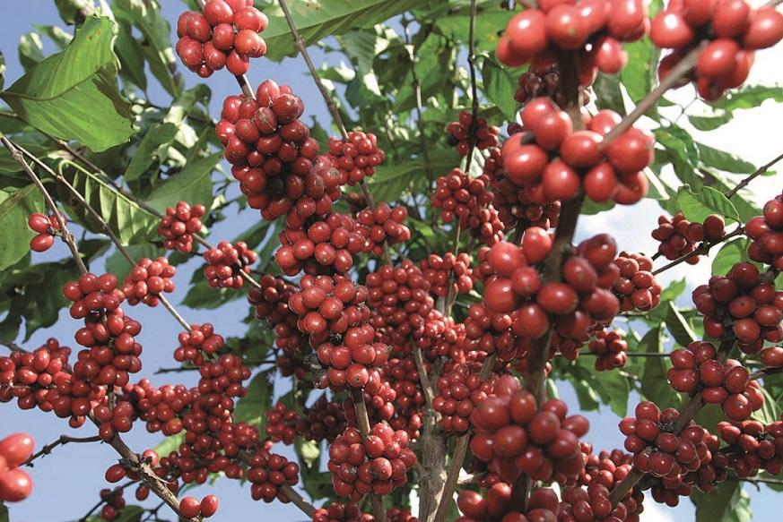 Agricultura invita representantes productore de Café conocer nuevo reglamento(Foto externa).