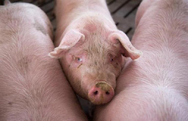 Ejemplares de cerdos en granja de Filipinas. (Foto EFE)