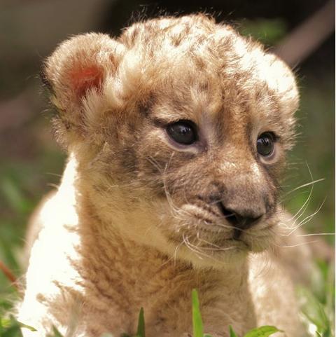 Nala cachorro de león.