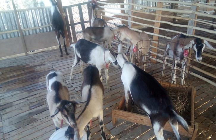 """""""ç CONIAF, cabras, jóvenes, ganaderos, Neyba"""
