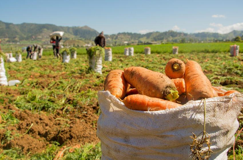 Se exporta zanahoria de Constanza hacia Puerto Rico.